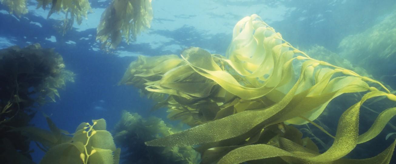 Trzy sekrety skuteczności alg morskich